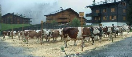 The annual cow judging competition in Champery